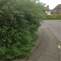 Hedge overgrown