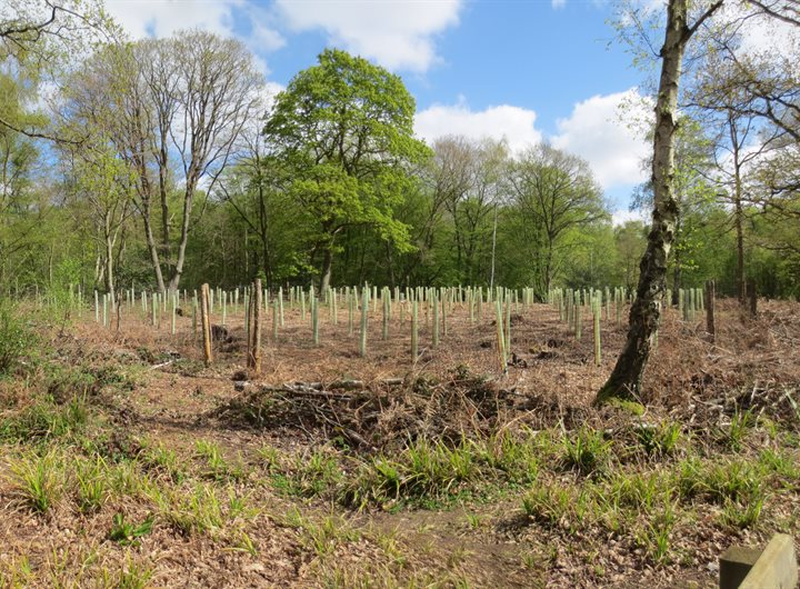 bencroft-wood-trees-planted-with-tree-guards